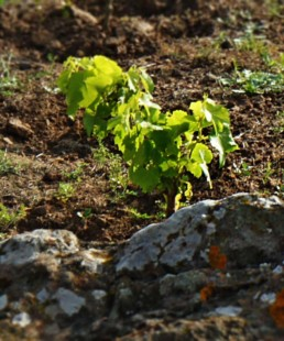 Grenache - Coste Ghirlanda - Pantelleria